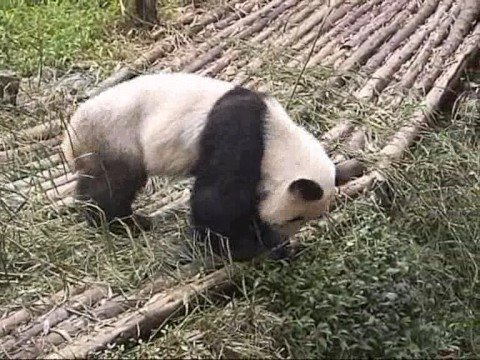 lazy panda - Chengdu Giant Panda Breeding Research Base, home to worlds biggest group of artificially-bred giant pandas, is the only place in the world where these cuddly...