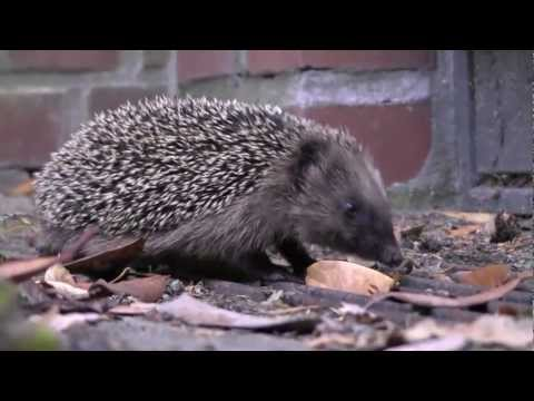 Igel - Hier ist der Igel Film nochmal, jetzt sogar in HD-Qualitt!!! Bald folgt ein neues Igel-Video!!! 2011 Daniel Bendig - All rights reserved.