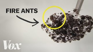 Download Youtube: The bizarre physics of fire ants