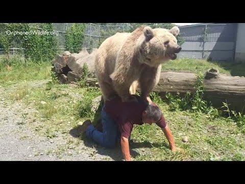 العرب اليوم - الدب السوري يجد سعادته على ظهر رجل أميركي