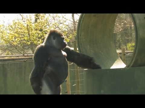 牠就是有史以來第一隻會「直立走路」的大猩猩,頭一轉過來馬上就爆紅成為大家的話題!