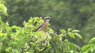 Video The sound of Brown Shrike. MP3, 3GP, MP4, WEBM, AVI, FLV Agustus 2018