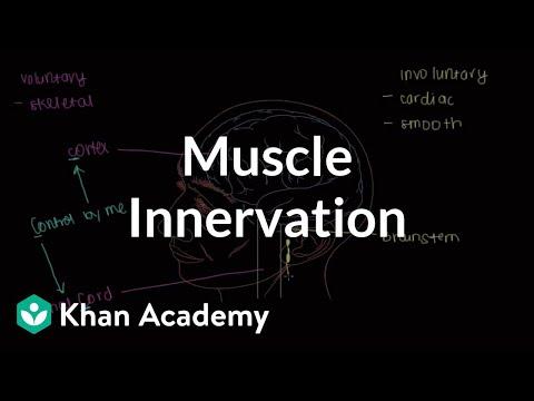 Muscle innervation (video)   Khan Academy
