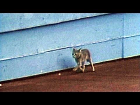 A kitten runs amock at the Seattle Kingdome