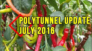 Chilli polytunnel update (July)