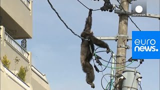 Video Chimp escape: Primate swings from live power lines, falls from electricity pole MP3, 3GP, MP4, WEBM, AVI, FLV Maret 2019
