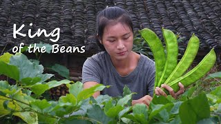 The king of the beans – the giant 'sword bean'