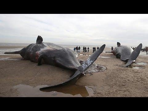 İngiltere kıyılarına balina vurdu