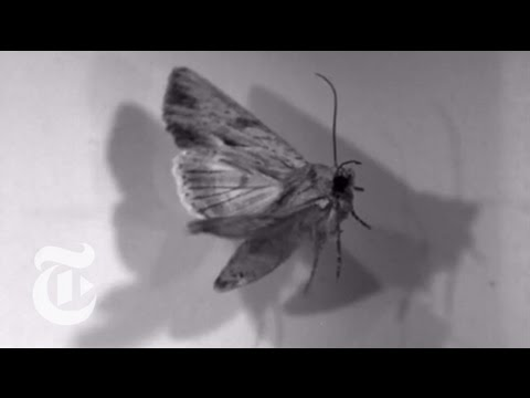 Leaping Moths | ScienceTake | The New York Times