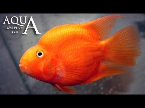acquariofilia - ciclide pappagallo o red parrot