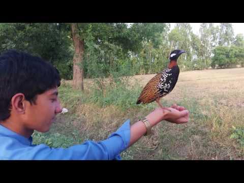 Video kala teetar....kpk kohat ..tariq orakzai download in MP3, 3GP, MP4, WEBM, AVI, FLV January 2017