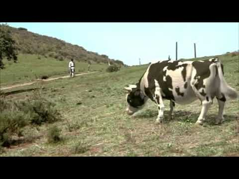 The  funny man VS cow fight