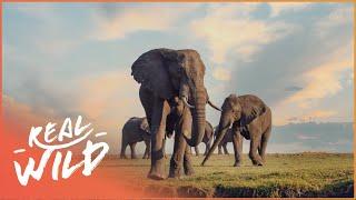 Video Heart Of The Okavango: Island Of Lions [African Predators & Preys Documentary] Real Wild MP3, 3GP, MP4, WEBM, AVI, FLV Juni 2019