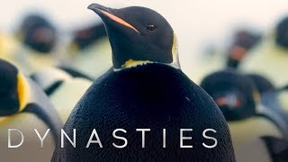Rarest Penguin On Earth Spotted: All Black Penguin | Dynasties | BBC Earth