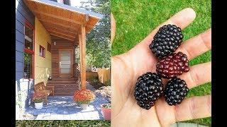 SIMPLE&Easy-- RASPBERRIES/BLACKBERRIES @Home