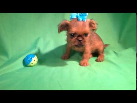 Baby Brussel Griffon COCO