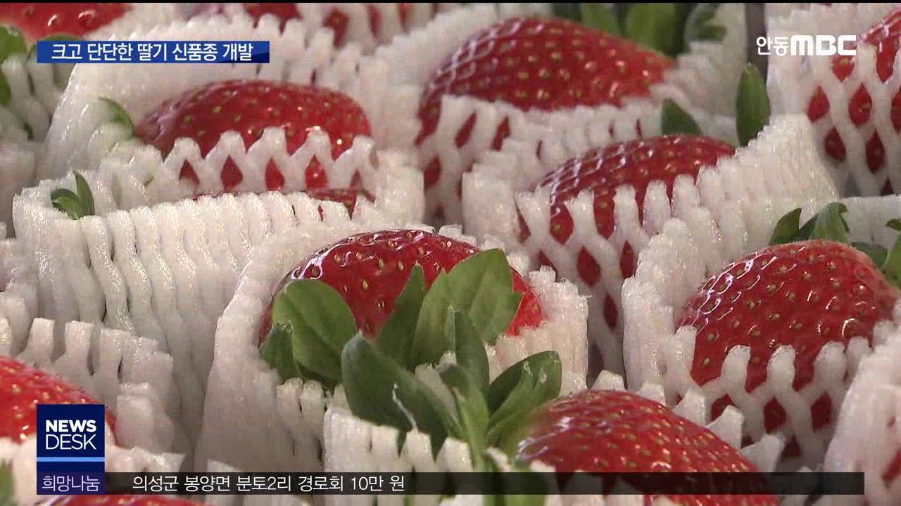 R)농업이 미래다(1)크고 단단한 딸기··택배도 가능