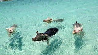 Badende grise er døde under mystiske omstændigheder