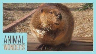 Beaver Explores The Yard! by Animal Wonders