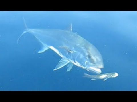 Amberjack Eats Sea Bass