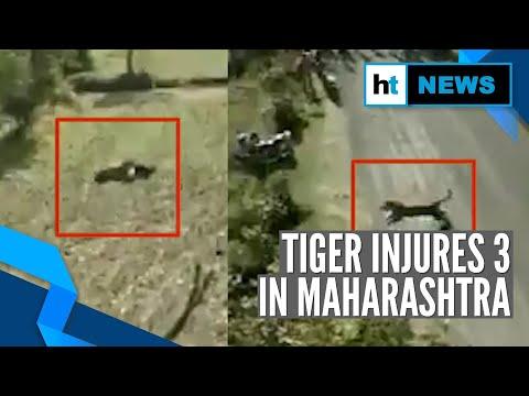 Watch: Tiger attacks villagers, injures 3 in Maharashtra's Bhandara