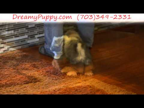Gorgeous Pekingese Male Puppy 1