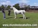 تنظيف وتدريب الحصان العربي Cleaning and training Arabian Hor