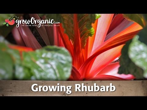 Planting & Growing Rhubarb