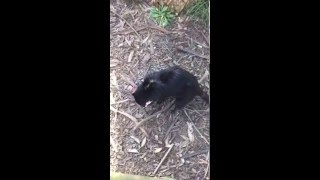 Taranna Australia  City new picture : Tasmanian Devils Chasing Each Other