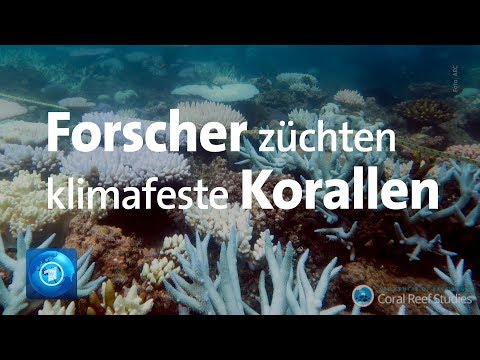 Great Barrier Reef: Forscher wollen Korallensterben sto ...