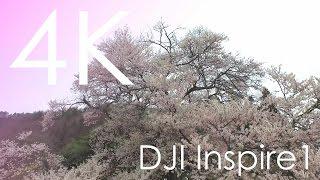 4K空撮 / 発知の彼岸桜
