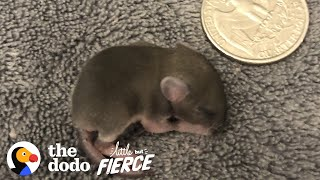 Baby Mouse The Size of a Quarter | The Dodo Little But Fierce by The Dodo