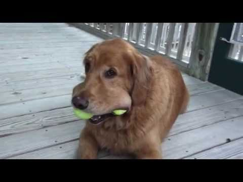 golden retriever and his 4 tennis balls!