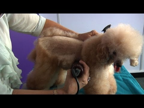 Grooming Guide - Toy Poodle Pet or Salon Trim - Pro Groomer