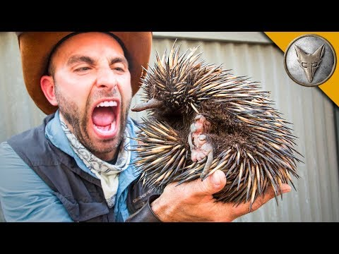 Coyote Peterson Meets a Living Ball of Spikes