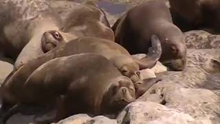 A colony of Sea lions | Patagonia | South America