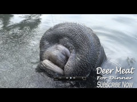 Manatee Drinking Water From A Hose