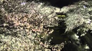 桜だより7・五条川羽黒橋