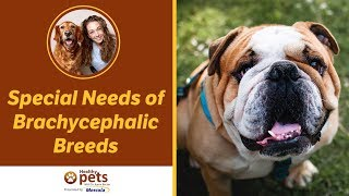 Special Needs of Brachycephalic Breeds