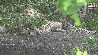 Tlangisa female leopard with her third litter of cubs! Filmed at Idube Game Reserve in the Sabi Sand Wildtuin, Greater Kruger National Park, South Africa (http://www.idube.com/static)Filmed in 4K UHD resolution using the Sony AX100 video cameraSubscribe for more great wildlife clips: http://goo.gl/VdOHuSFollow #nowfilming on social networks for LIVE photo updatesROB THE RANGER WILDLIFE VIDEOS on Social Networks:TWITTER: http://goo.gl/U8IQGfBLOG: http://goo.gl/yJJ3pTFACEBOOK: http://goo.gl/M8pnJhGOOGLE+: http://gplus.to/robtherangerTUMBLR: http://goo.gl/qF6sNS#YouTubeZA#YouTubeSSA#SAYouTubers