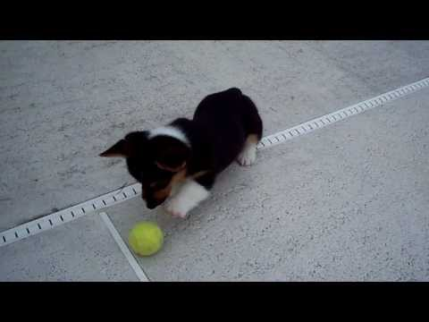 Hundvalp ser tennisboll för första gången