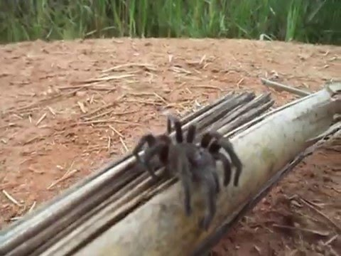 Aranha Caranguejeira em Ibituruna - MG
