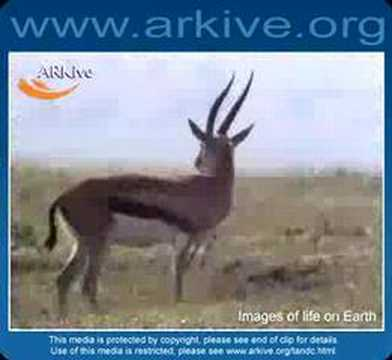 Thomson's gazelles are 60--90 cm...
