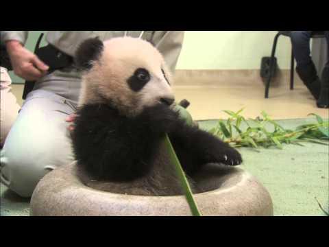 Un peu de bambou, une boule verte et je serai géant ...