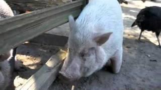 Pig at a Georgia petting zoo....