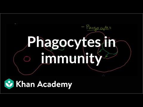 Role Of Phagocytes In Innate Or Nonspecific Immunity Video Khan