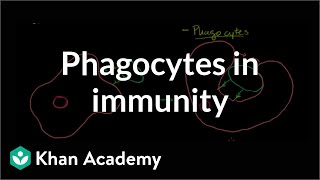 Role of phagocytes in innate or nonspecific immunity  NCLEX-R...
