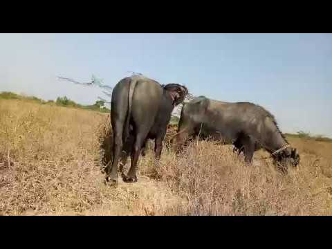Buffalo Mating - Wonderful Mating- Big Gun Of The Buffalo - Animal....