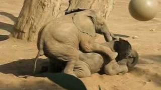 Baby Elephant Mating Gone Wrong - 05 08 7598658 YouTube-Mix