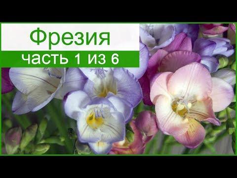 Цветок фрезия посадка и уход, фото фрезии, выращивание